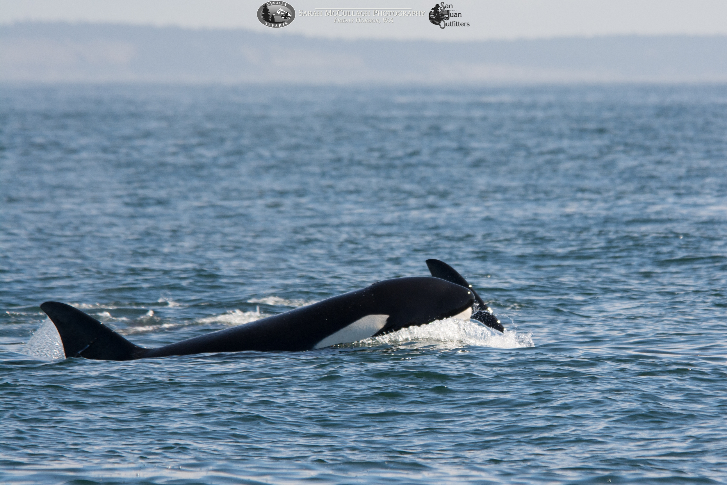A Transient (Mammal-Eating) Orca