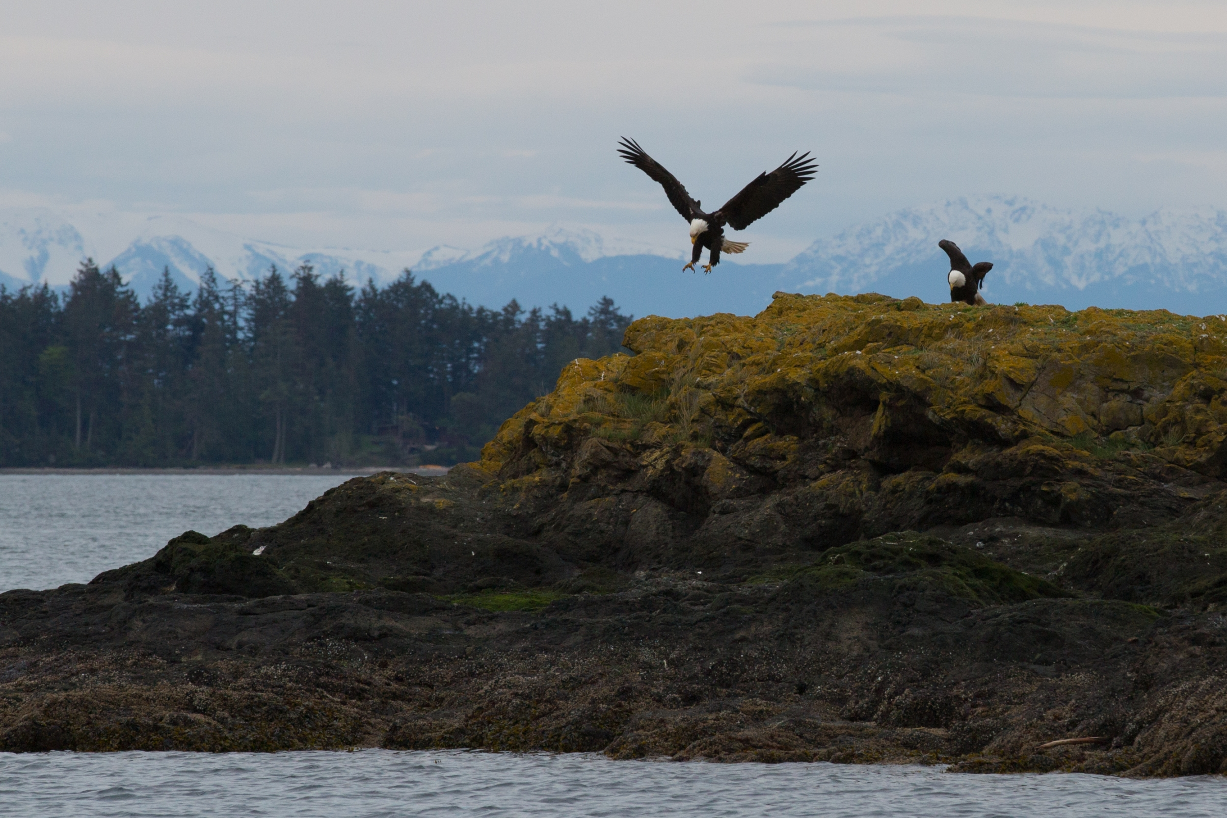 Reservations For Roche Harbor Orca Search 5 Hour Kayak Tour