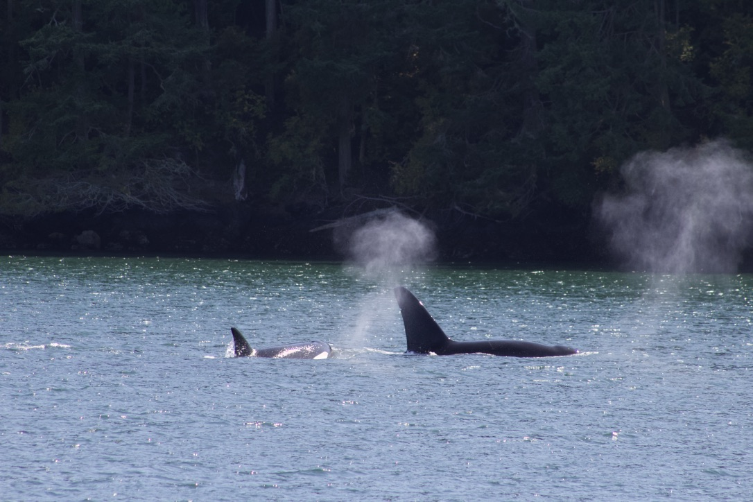 Transient Killer Whales in the San Juan Islands; PC: Frederick Dowell