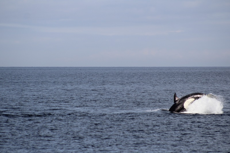 Bigg's killer whales in Puget Sound