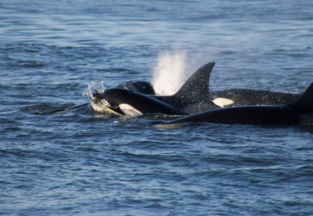 Bigg's Killer Whales in the San Juan Islands