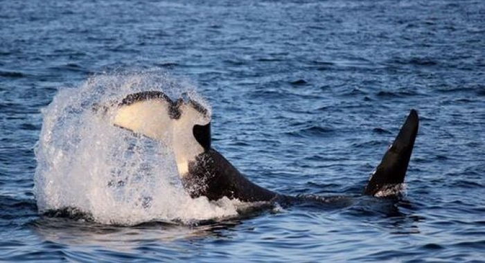 Bigg's Killer Whales in the Salish Sea
