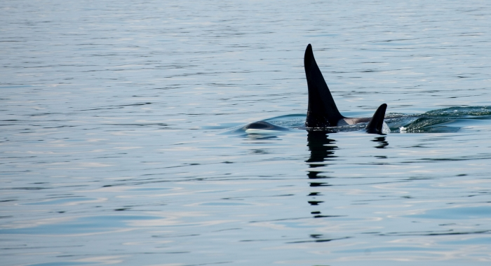 J Pod on the West Side of San Juan Island