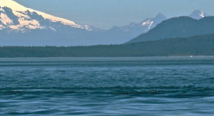 Gray Whale in the Salish Sea