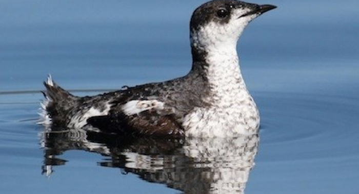 An Endangered Marbled Murrelet (Photo by Robin Corcoran)