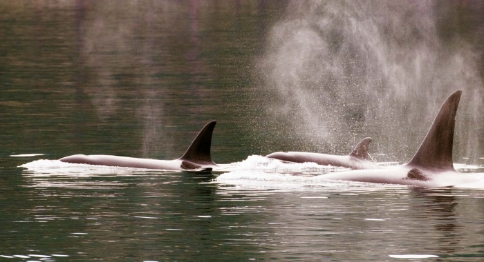 Orca Whales in San Juan Islands