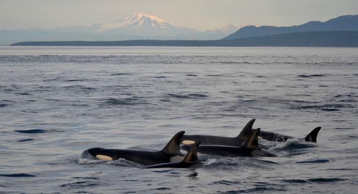 Bigg's Killer Whales in the Haro Strait