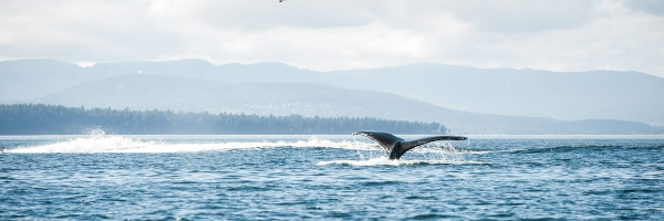 Whale Watch and see humpbacks with San Juan Island Outfitters