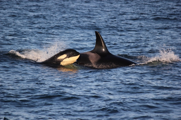 Mother and calf killer whales near Roche Harbor, San Juan Island
