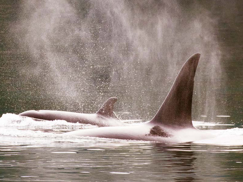 There is so much wildlife in the San Juan Islands, like Orca Whales (Killer Whales) that you can view from one of San Juan Island Outfitters' tours