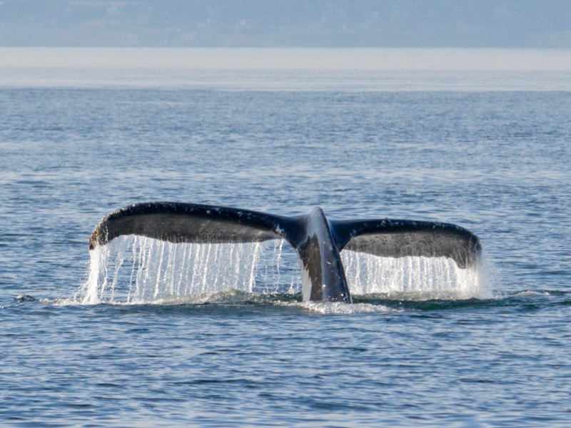 Humpback whale tail in the San Juan Islands with San Juan Outfitters