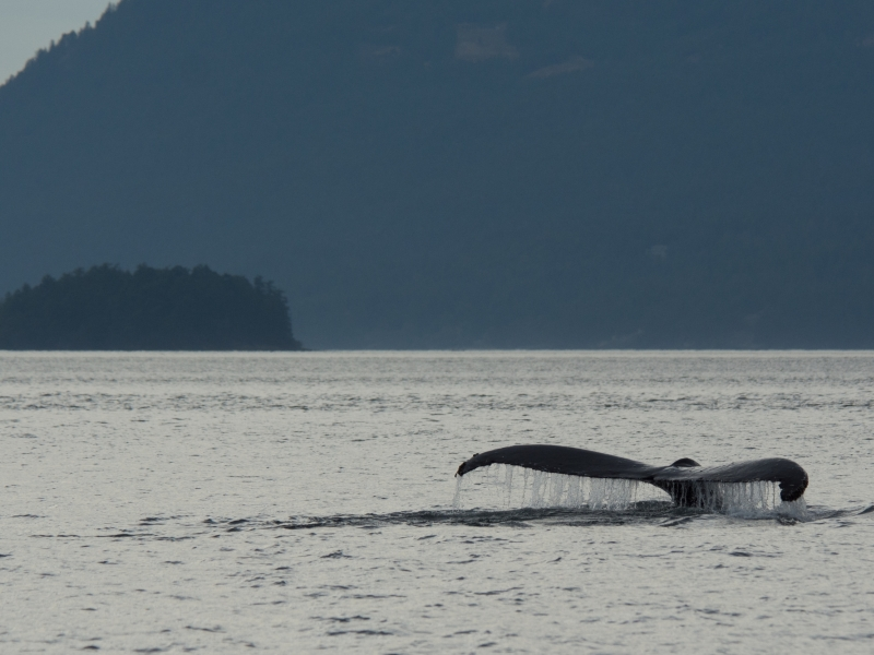 Humpback whale at sunset near Seattle