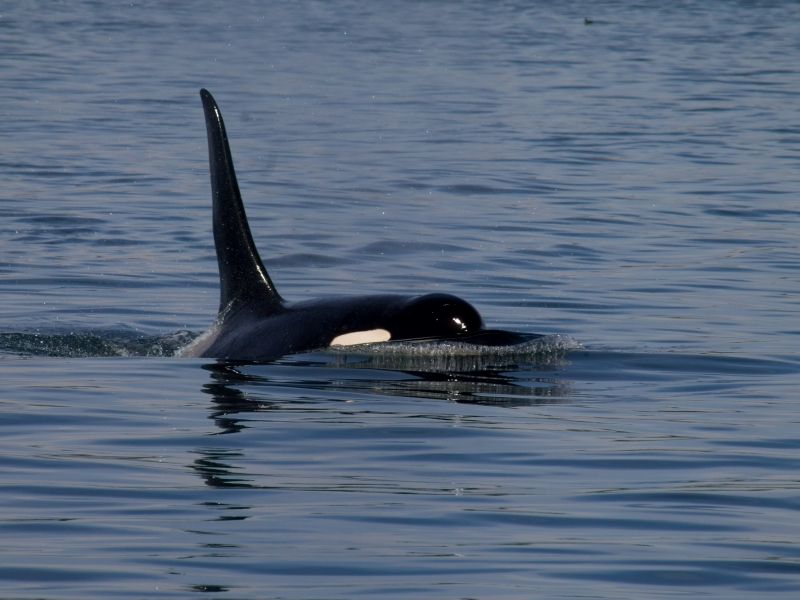 See orcas, humpback whales, and so much more wildlife in the San Juan Islands