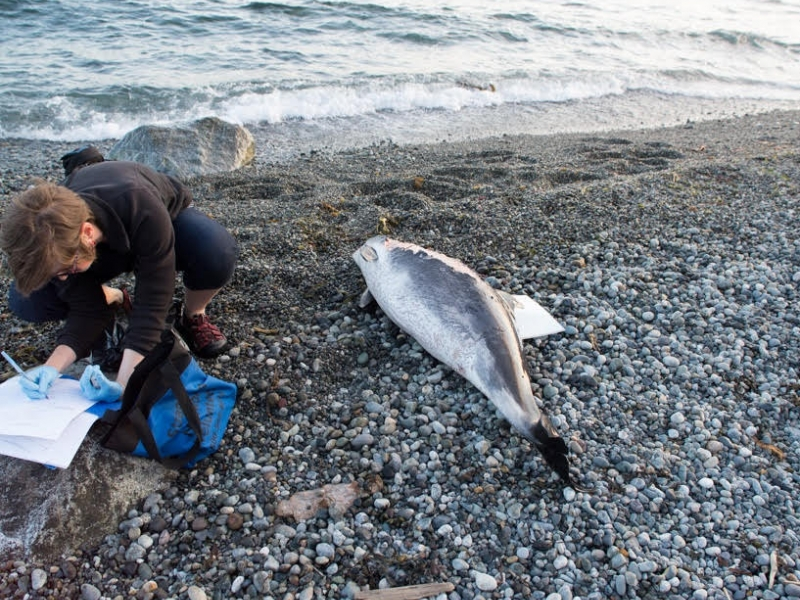 The Whale Museum's San Juan County Marine Mammal Stranding Network responds to a stranded harbor porpoise