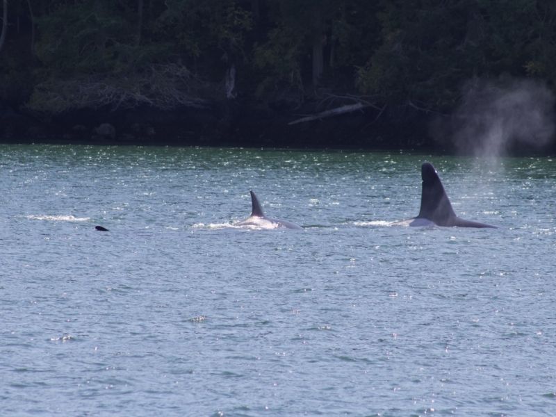 Bigg's Killer Whales in the Salish Sea; PC: Frederick Dowell