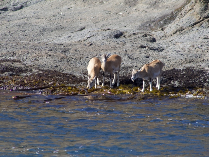 Mouflon Sheep on Spieden Island; PC: Frederick Dowell
