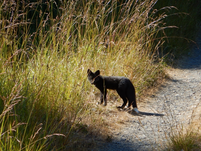 Black Fox on San Juan Island