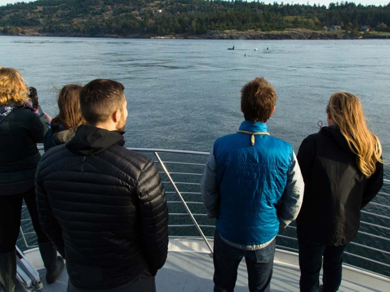 View orcas (killer whales) out of Roche Harbor with San Juan Island Outfitters