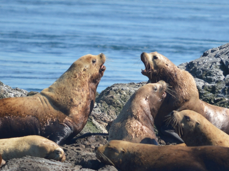 Learn about local wildlife like Stellar Sea Lions while kayaking the San Juan Islands