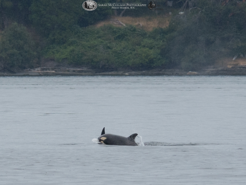 Baby transient killer whale