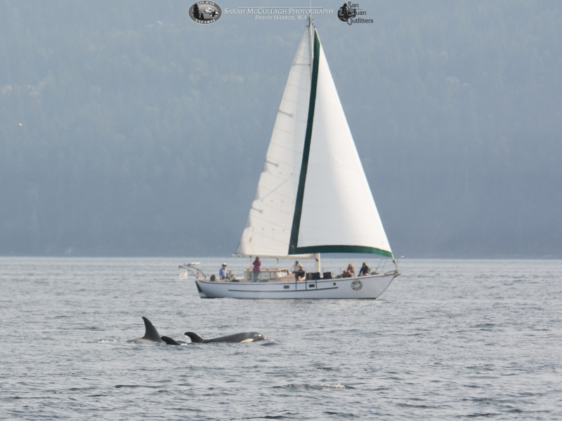 Transient Killer Whales and a sail boat