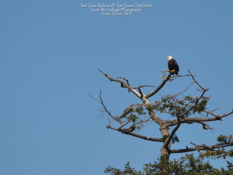 Bald eagle perched high in the tree - spotted during a San Juan Outfitters kids kayak tour