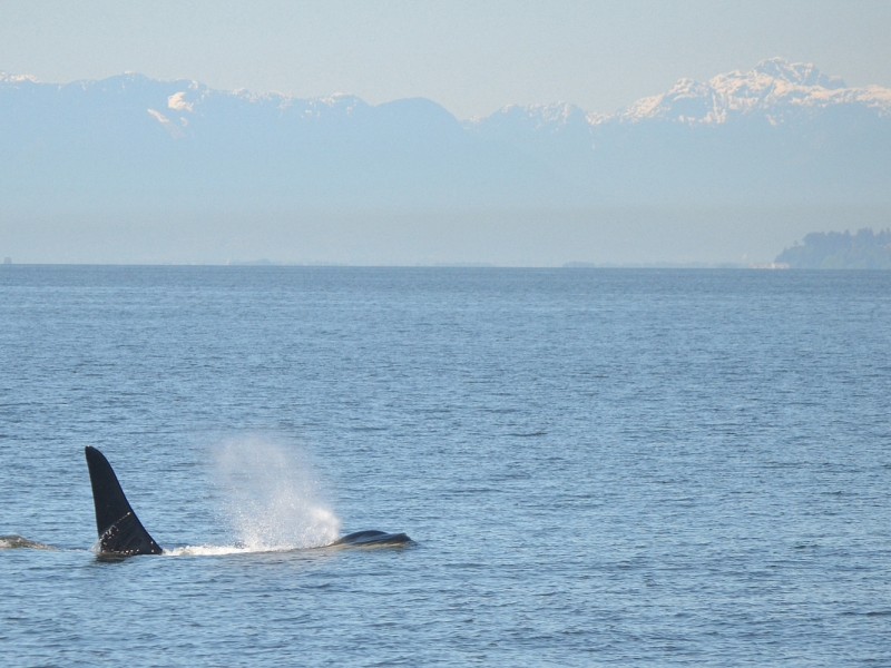 Male orca at the surface