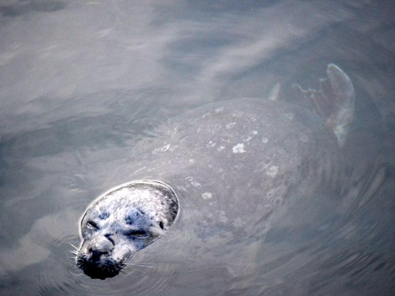 Kayak with harbor seals near Lime Kiln Lighthouse with San Juan Island Outfitters