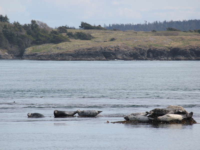 Learn about wildlife of the San Juan Islands like Harbor Seals