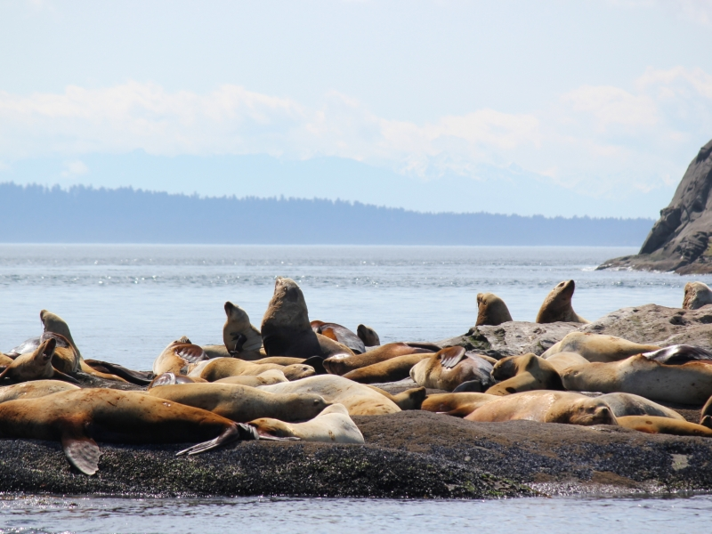 Kayak with Steller Sea Lions near San Juan Island