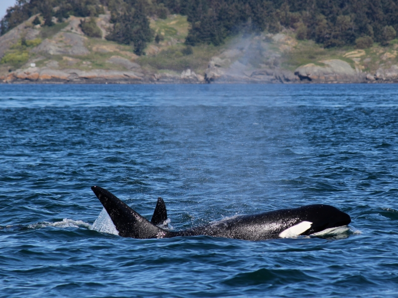 Kayak with Transient Orcas in Speiden Channel