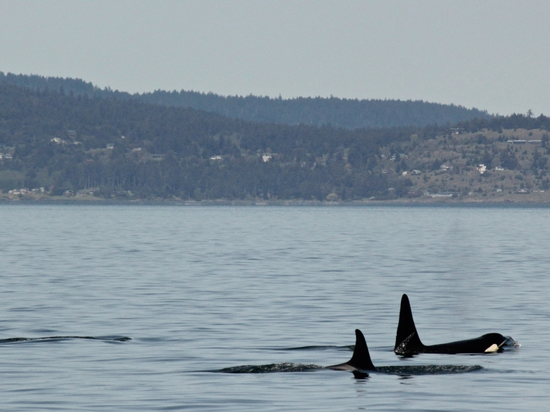 Kayak with orcas traveling near San Juan Island