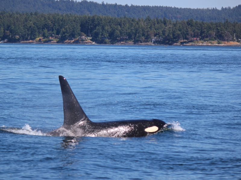 Kayak with Southern Resident Killer Whales in the San Juan Island