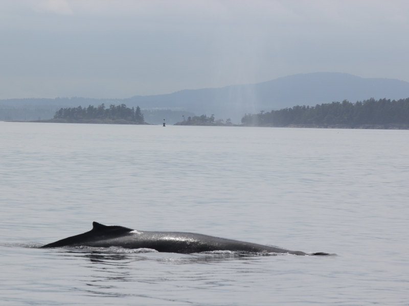 The San Juan Islands are home to animals like humpback whales - view them with San Juan Outfitters