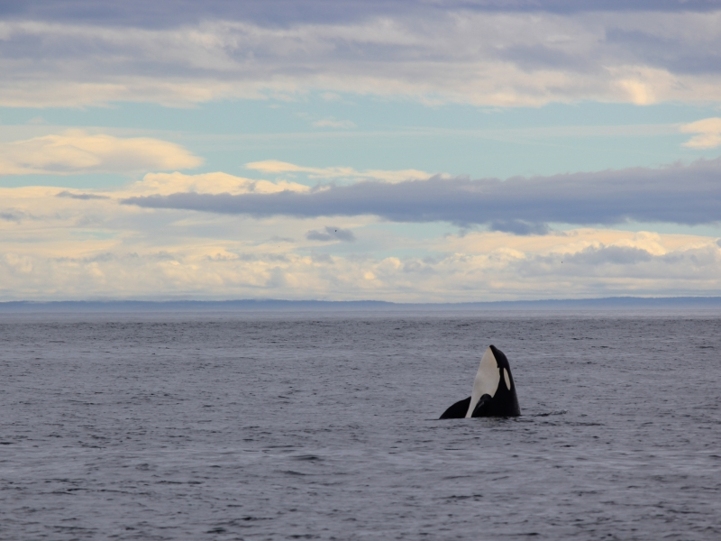 The waterways surrounding the San Juan Islands are considered the best place in the world to observe Orcas (Killer) Whales in the wild