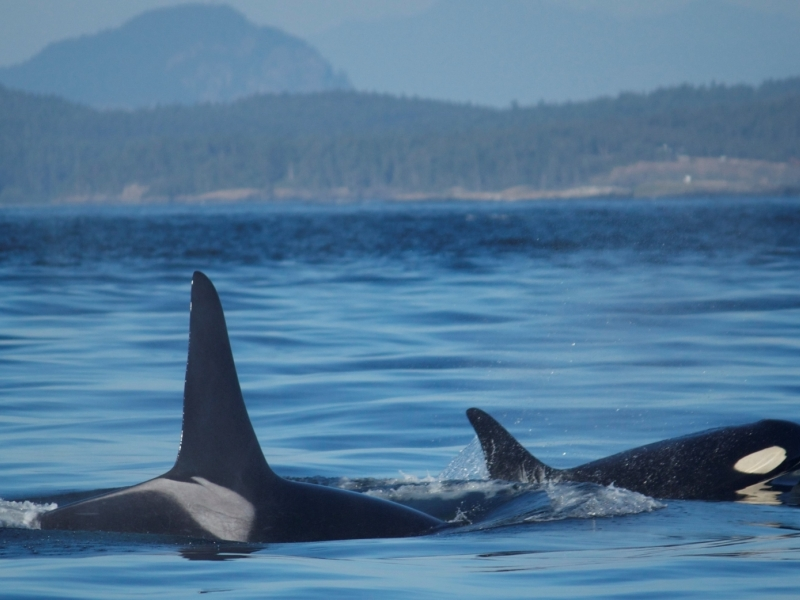 San Juan Outfitters' Conservation Fund contributes to the health and recovery of the Southern Resident Killer Whales