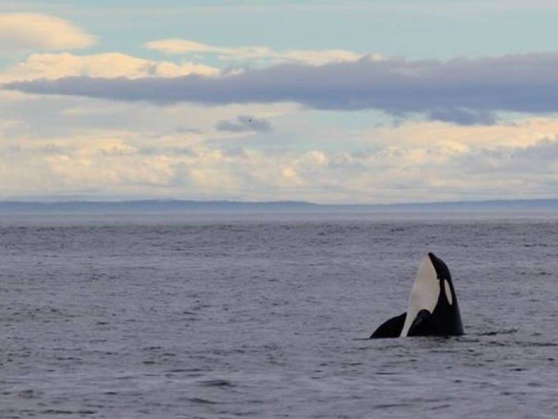 See wildlife like orcas while kayak camping on a guided tour with San Juan Island Outfitters