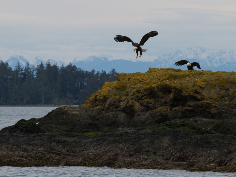Kayak with eagles on rocks near San Juan Island