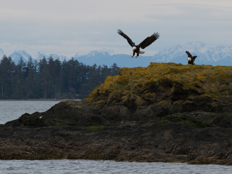 View bald eagles from a kayak outside of Roche Harbor