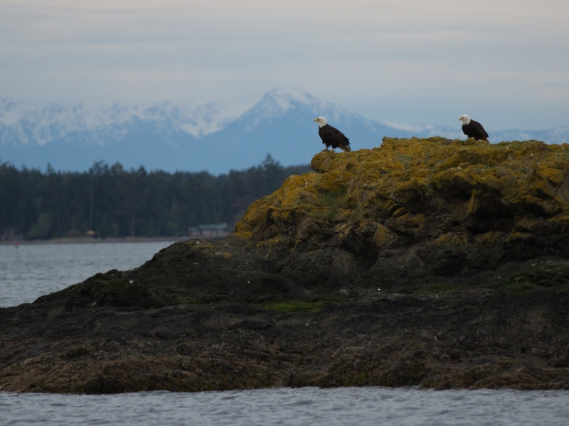 Kayak with animals like bald eagles as well as whales with San Juan Island Outfitters