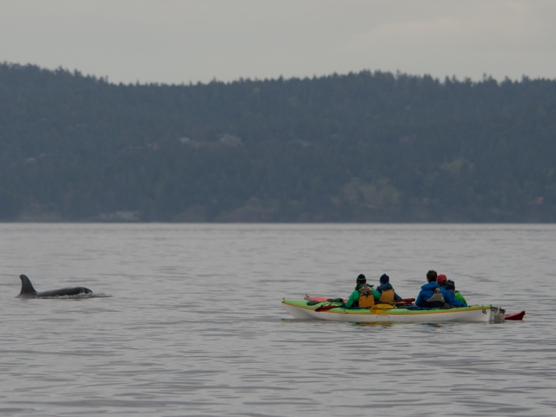 Safely and responsibly kayak with whales in the San Juans