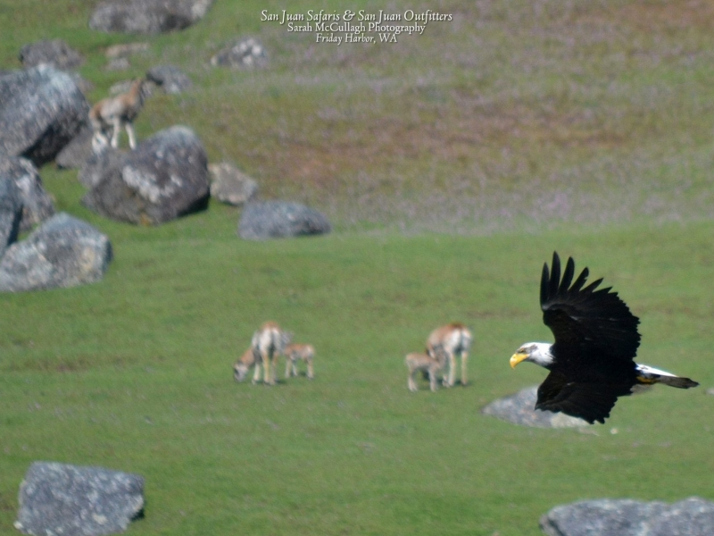 View wildlife like bald eagles from a kayak in the San Juan Islands