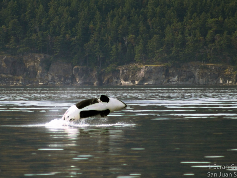See wildlife like humpback whales while overnight kayak camping with San Juan Island Outfitters