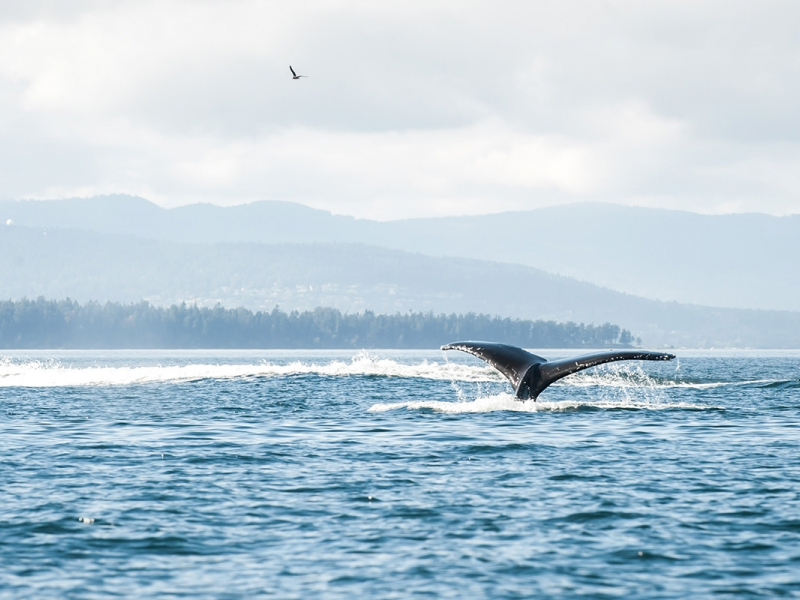 See wildlife like humpback whales while kayak camping with San Juan Island Outfitters