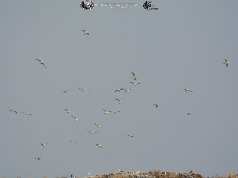 Birds over Mandarte Island