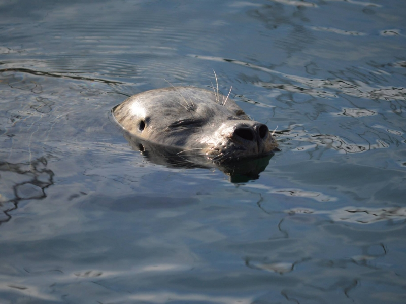 Friday Harbor harbor seal