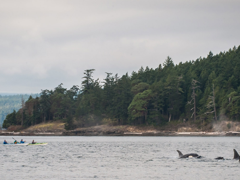 Kayak with orcas around San Juan Island