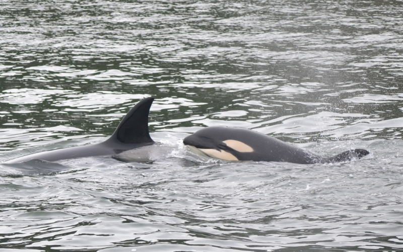 Mother and calf transient Killer Whale
