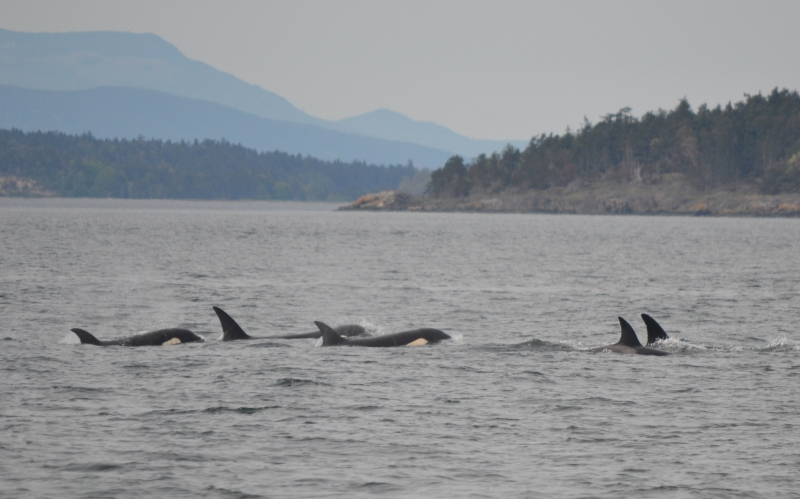 A group of Orcas traveling together.