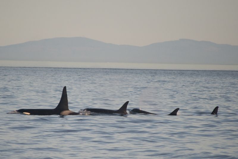 A Family of Southern Resident Killer Whales